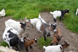 De dieren van de wijkboerderij