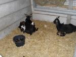 Geboortegolf jonge geitjes kinderboerderij (video)
