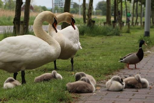 Gezinsuitbreiding voor zwanenfamilie