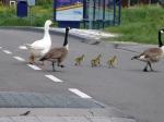Opgelet: eigenwijze ganzenfamilie steekt over