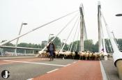 Schaapskudde steekt woensdag Zwartewater over naar Stadshagen
