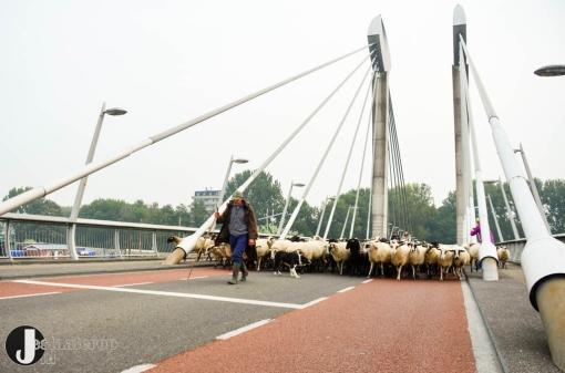 Schaapskudde trekt door Stadshagen (fotoreportage)