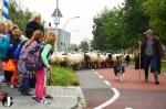 Zwolse Schaapskudde vertrekt uit Stadshagen