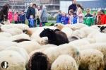 Schaapscheerdersfeest op de Klooienberg