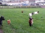 Kippen dierenweides los ondanks afschermplicht