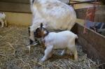 Jonge geitjes geboren in wijkboerderij