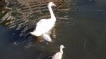 Zwaantje verdronken door verstrikking met tiewrap