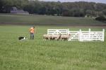 Schaapherder Stadshagen net buiten EK-finale schapendrijven